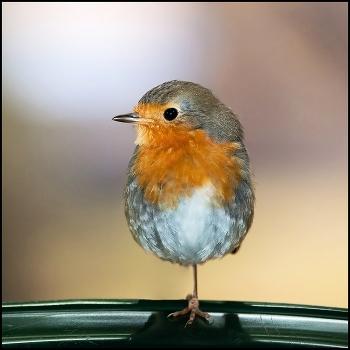 птичка невеличка